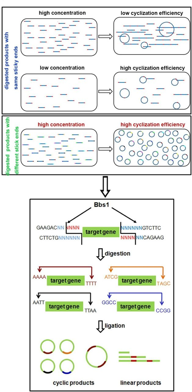 Bacteria-free minicircle DNA system to generate integration