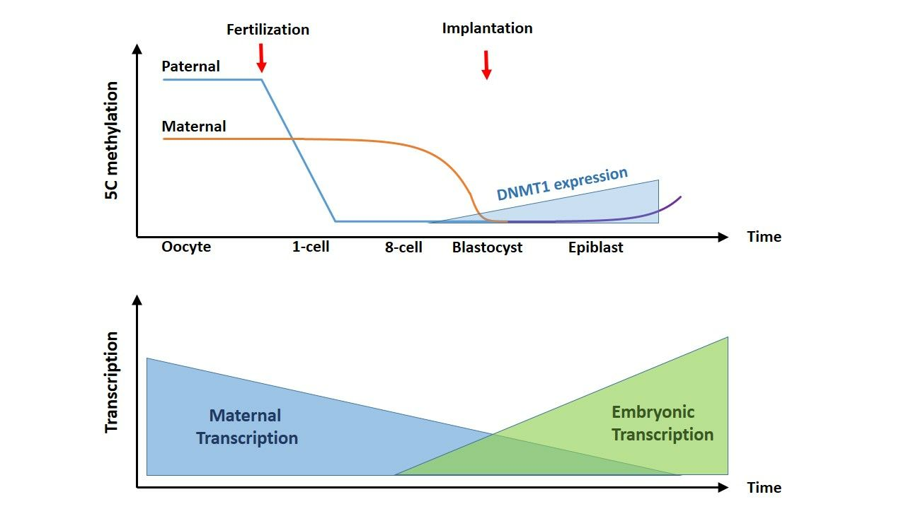 Genetic diagnosis of subfertility: the impact of meiosis and